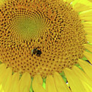 Bees Share A Sunflower Poster