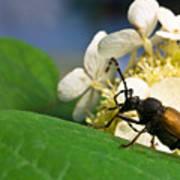 Beetle Preening Poster