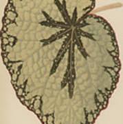 Begonia Marshallii  Poster