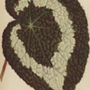 Begonia Rex Poster