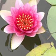 Beijing Lotus Poster
