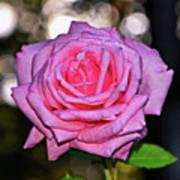 Belinda's Dream Rose 004 Poster