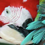 belle Ara Macao oiseaux tropicaux de Maui  Poster