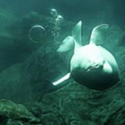 Beluga Whale 2 Poster