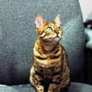 Bengal Cat Oil Pastel  Poster