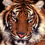 Bengal Tiger - 2 Poster