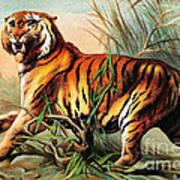 Bengal Tiger, Endangered Species Poster