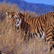 Bengal Tiger Endangered Species Wildlife Rescue Poster