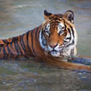 Bengal Tiger Laying Water Poster
