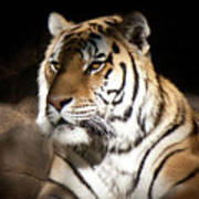 Bengal Tiger Sitting In Silent Shadows Poster