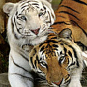 Bengal Tigers At Play Poster