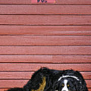 Bernese Mountain Dog Alertly Guarding Home. Poster