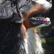 Bernese Mountain Dog Basking In The Sunshine Poster