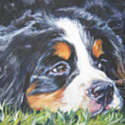 Bernese Mountain Dog In Grass Poster