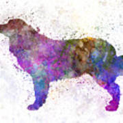 Bernese  Mountain Dog In Watercolor Poster