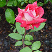 Bi-colored Rose In Rain Poster