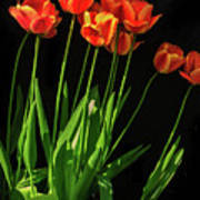 Bicolor Tulips Poster