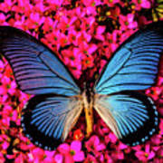 Big Blue Butterfly On Kalanchoe Flowers Poster