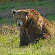 Big Brown Bear Poster