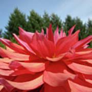 Big Dahlia Flower Blooming Summer Floral Art Prints Baslee Troutman Poster