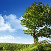 Big Elm Tree Near Corn Field Poster