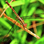Big Eyed Dragonfly Poster