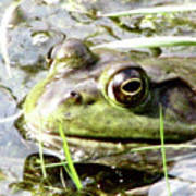 Big Eyed Frog In A Marsh Poster