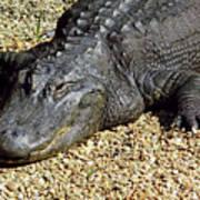 Big Gator Poster