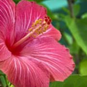 Big Pink Hibiscus Poster