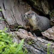 Big Tree Trail - Marmot - Sequoia National Park - California Poster