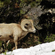 Bighorn In The Rockies Poster