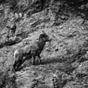 Bighorn Sheep Ewe On Wolf Creek Pass Poster
