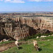 Bighorn Sheeps At Sage Creek Poster