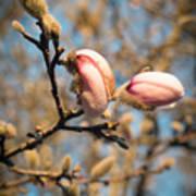Biltmore Cherry Blossom Poster