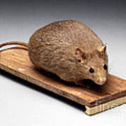 Bioengineered Obese Mouse, 1998 Poster