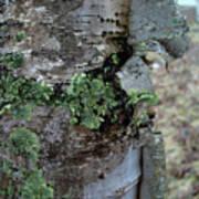 Birch Bark 1 Poster
