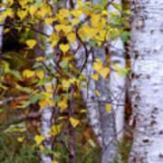 Birch In Autumn Poster