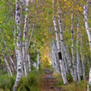 Birch Path Poster