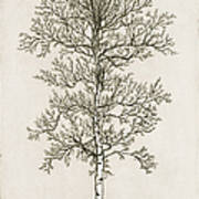 Birch Tree Poster by Charles Harden