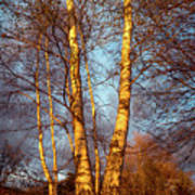 Birch Tree In Golden Hour Poster