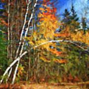 Birch Trees - Autumn Poster