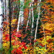 Birch Trees With Colorful Fall Foliage Poster