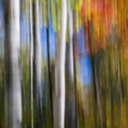 Birches In Autumn Forest Poster