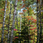 Birches In Fall Forest Poster