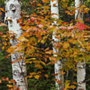 Birches In Fall Poster