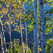 Birches On Lake Shore Poster