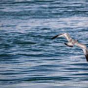 Bird In Flight Over Water Poster