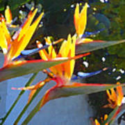 Bird Of Paradise Backlit By Sun Poster by Amy Vangsgard