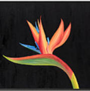 Bird Of Paradise Collection Poster