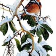 Birds 05 Varied Thrush On Arbutus Robert Bateman Sqs Robert Bateman Poster